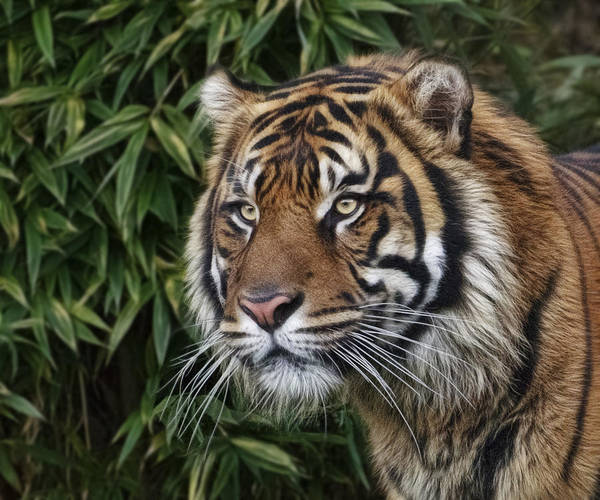 Photograph - Tiger In The Bush by Wes and Dotty Weber