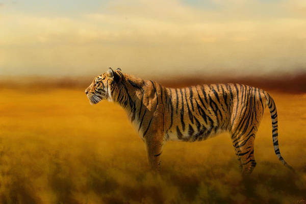 Photograph - Tiger In The Golden Field by Jai Johnson