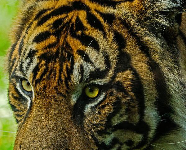 Photograph - Tiger by John Johnson