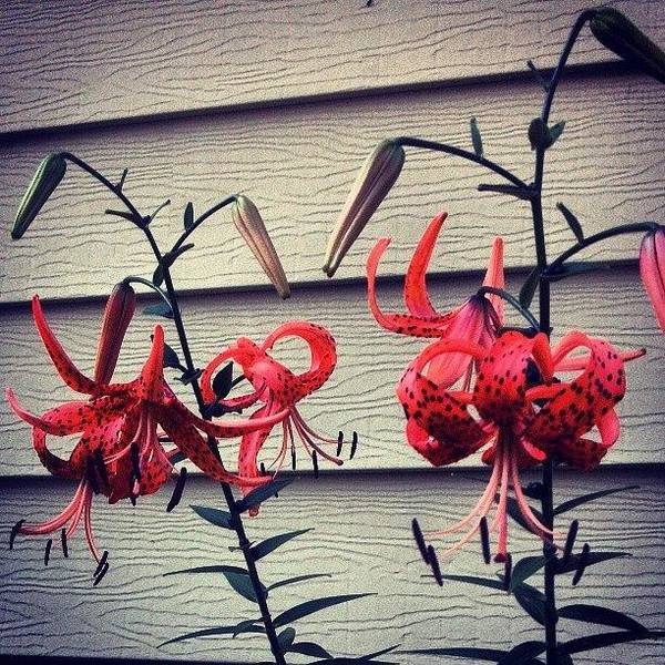 Tigerlily Wall Art - Painting - Tiger Lilies by Genevieve Esson