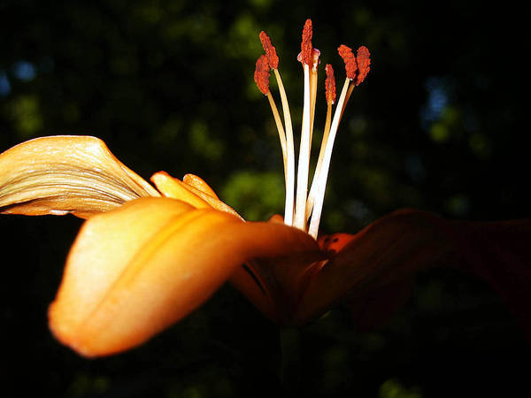 Photograph - Tiger Lilly by Tarey Potter