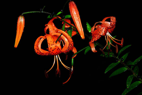 Photograph - Tiger Lily by Crystal Wightman