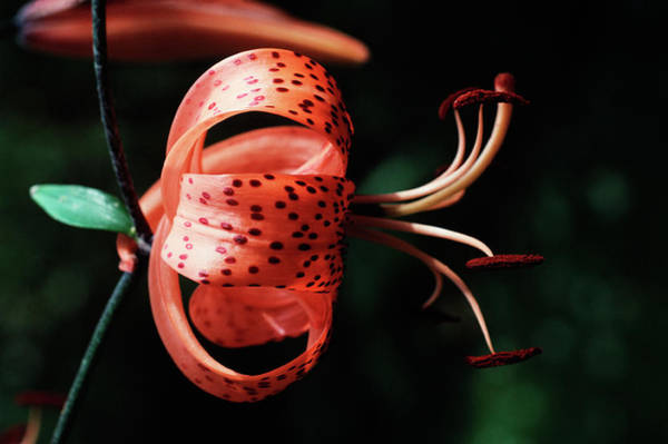 Carpel Photograph - Tiger Lily Flower by Dr Jeremy Burgess/science Photo Library