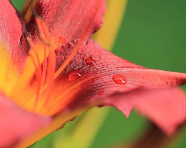 Photograph - Tiger Lily  by Angela Murdock
