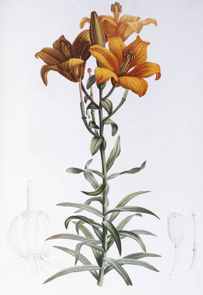 Plant Reproduction Painting - Tiger Lily by Pierre Joseph Redoute
