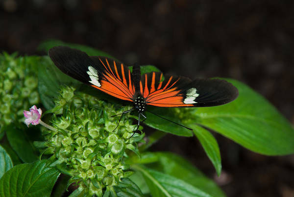 Photograph - Tiger Long Wing by Tam Ryan