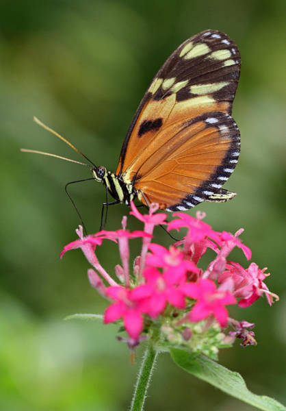 Photograph - Tiger Longwing by Juergen Roth