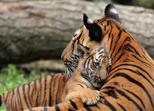 Emotion Photograph - Tiger Mother And Cub by Thedman