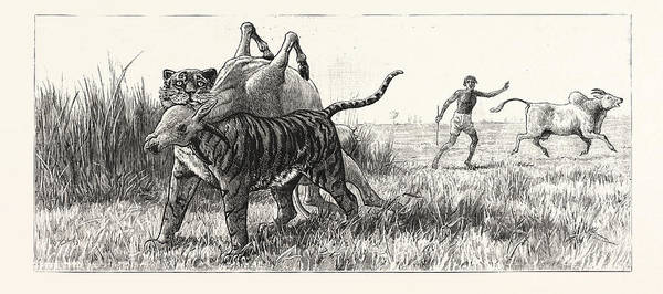 Bengal Tiger Drawing - Tiger-netting In Bengal As The Tiger Shoulders His Victim by English School