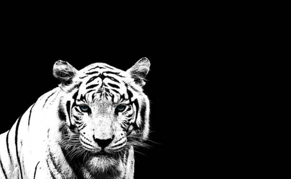 White Tiger Wall Art - Photograph - Tiger On Black by Mark Rogan