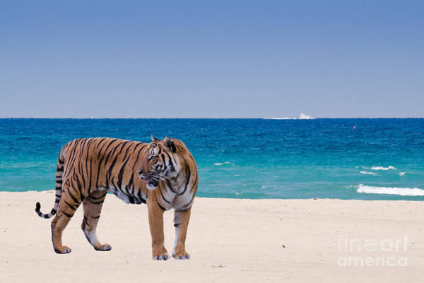 Photograph - Tiger On The Beach by Les Palenik