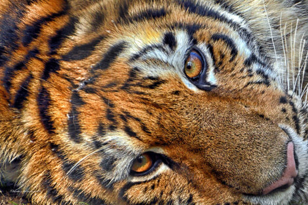 Wall Art - Photograph - Tiger Peepers by Thomas Woolworth