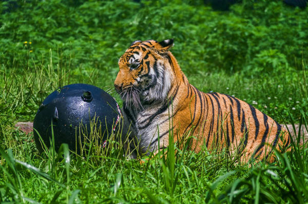 Wall Art - Photograph - Tiger Playing With Ball by Lori Coleman