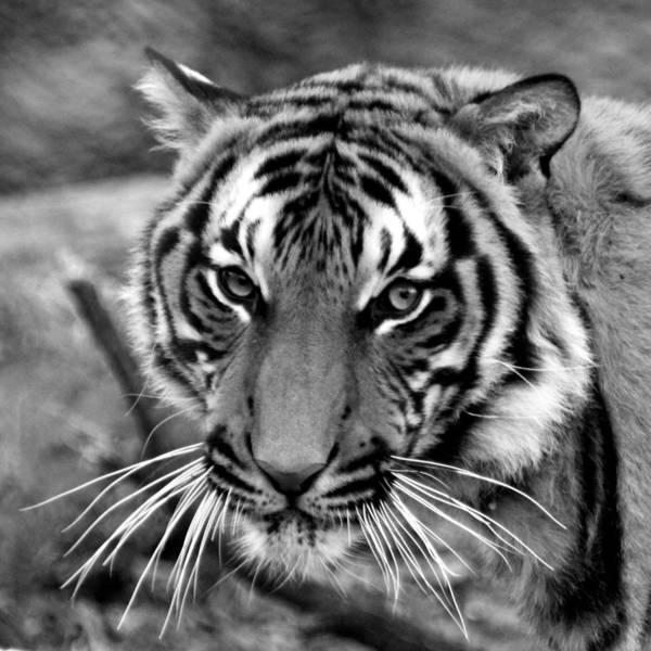Wall Art - Photograph - Tiger Portrait by Bruce J Robinson