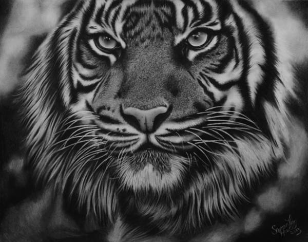 White Tiger Drawing - Tiger by Samantha Howell