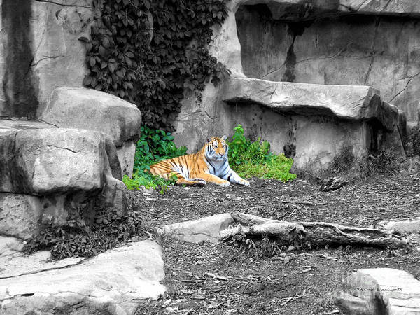 Wall Art - Photograph - Tiger Selective Coloring by Thomas Woolworth