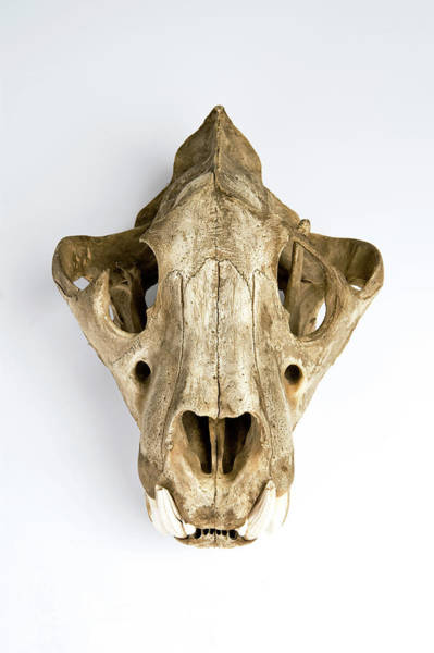 Preservation Photograph - Tiger Skull by Ucl, Grant Museum Of Zoology