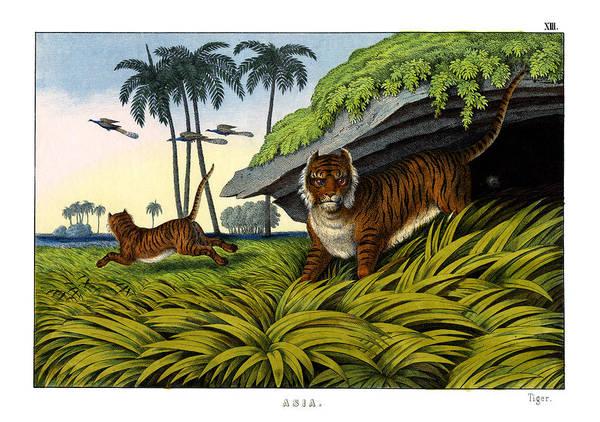 Lithography Wall Art - Drawing - Tiger by Splendid Art Prints