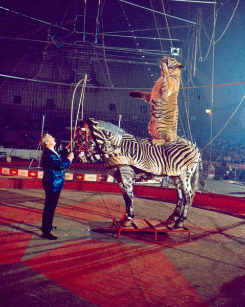 Trainer Photograph - Tiger Stands Up On Top Of Zebra At Circus by Retro Images Archive
