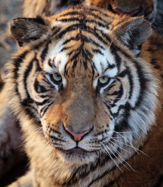 Staring Photograph - Tiger Staring At Camera by Yesfoto