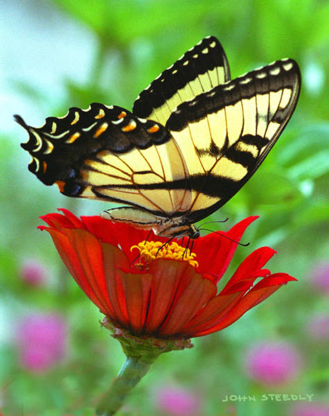 Wall Art - Photograph - Tiger Swallow Tail 1 by John Steedly