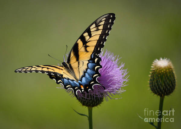 Photograph - Tiger Swallowtail by Cheryl McClure