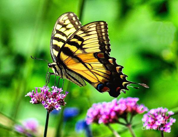 Photograph - Tiger Swallowtail by Nick Zelinsky