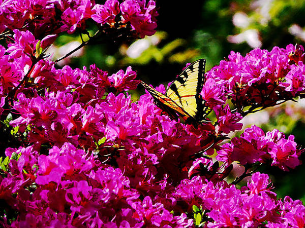 Photograph - Tiger Swallowtail On Azalea by Susan Savad