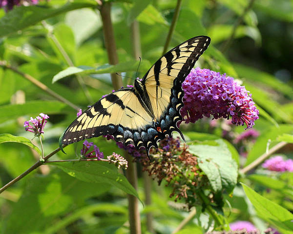 Photograph - Tiger Swallowtail On Butterfly Bush by William Selander