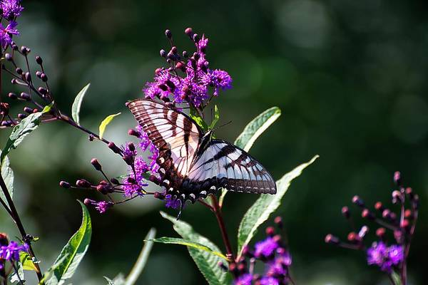 Photograph - Tiger Swallowtail On Purple by Beth Akerman