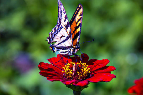 Wall Art - Photograph - Tiger Tail On Red Flower by Garry Gay