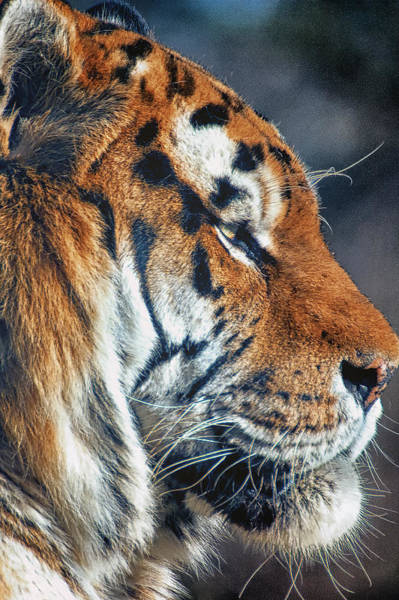 Photograph - Tiger Watch by Chris Boulton