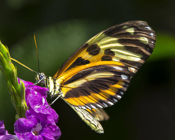 Photograph - Tiger Wing Butterfly by Sean Allen
