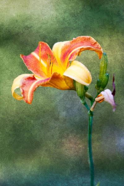 Tigerlily Wall Art - Photograph - Tigerlily by Oscar Dean