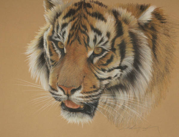 Bengal Tiger Drawing - Tiger's Eyes by Clare Shaughnessy