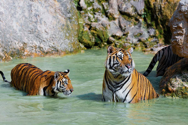 Wall Art - Photograph - Tigers In Water, Indochinese Tiger Or by Peter Adams