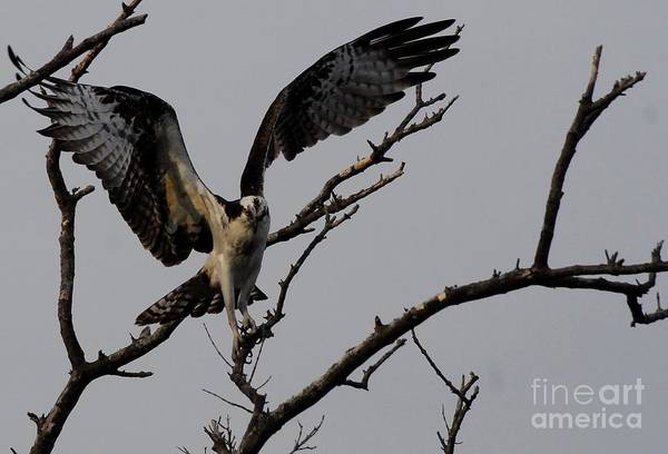 River Hawk Photograph - Tight Flight by Quinn Sedam