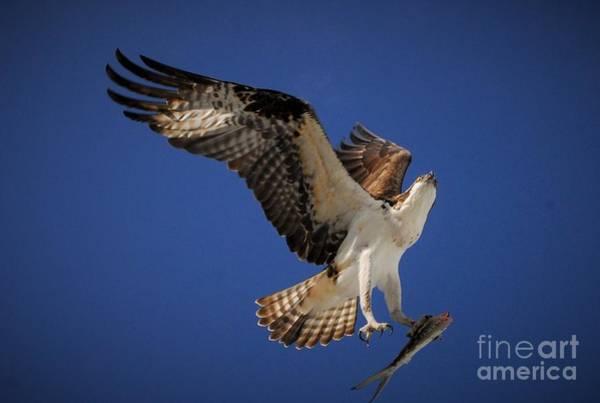 Fish Eagle Photograph - Tight Grip by Quinn Sedam