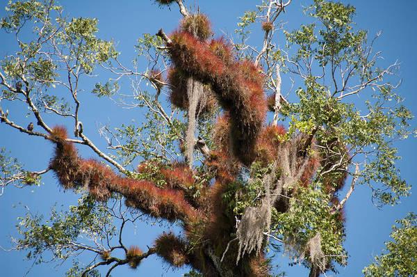 Photograph - Tikal Furry Tree Closeup by Michael Bessler