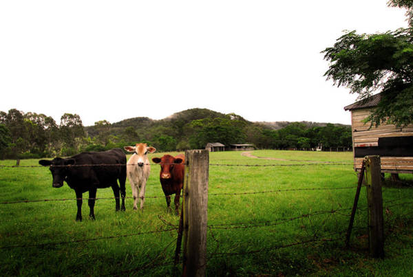 Feed Me Photograph - Til The Cows Come Home by Samantha Smith