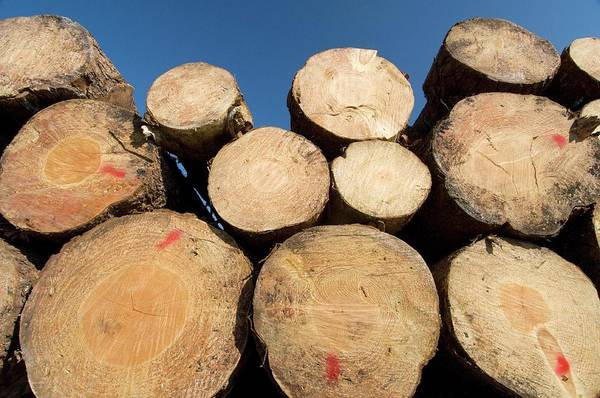 Logs Photograph - Timber by Louise Murray/science Photo Library