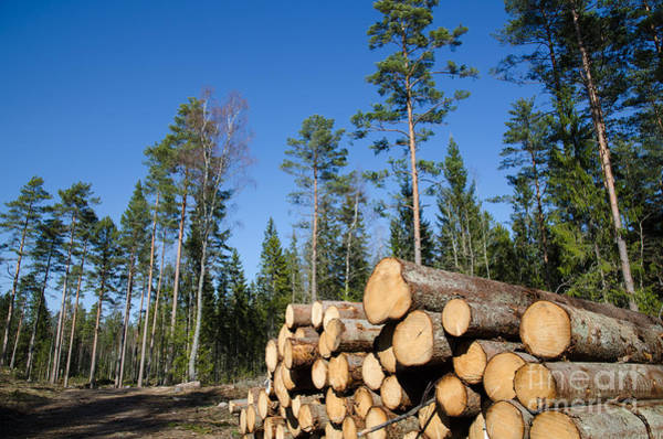 Rights Managed Images Wall Art - Photograph - Timber Stack Of Whitewood by Kennerth and Birgitta Kullman