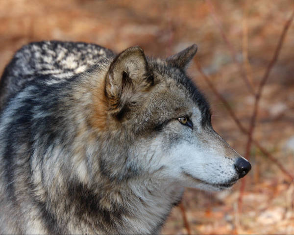 Wall Art - Photograph - Timber Wolf 1 by Patsy Zedar