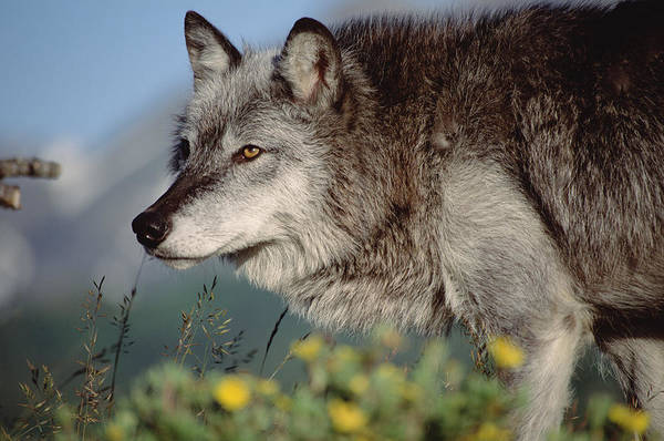 Wall Art - Photograph - Timber Wolf Adult Portrait North America by Tim Fitzharris