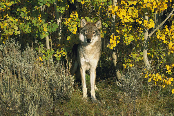 Wall Art - Photograph - Timber Wolf Among Aspens Idaho by Tom Vezo
