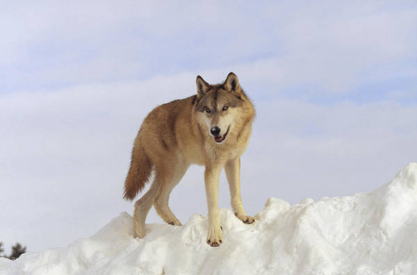 Wall Art - Photograph - Timber Wolf Atop Snow Bank Montana by Tim Fitzharris