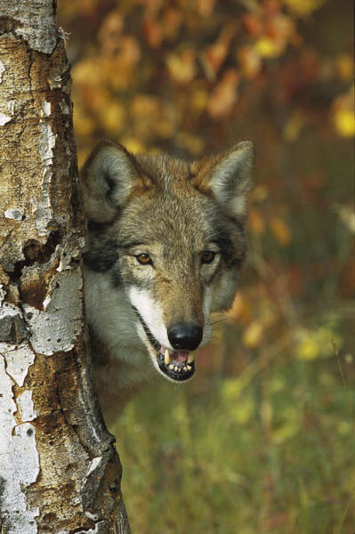 Wall Art - Photograph - Timber Wolf Behind Tree Teton Valley by Tom Vezo