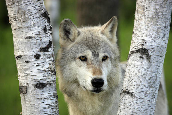Wall Art - Photograph - Timber Wolf Between Birch Trees by Jurgen and Christine Sohns