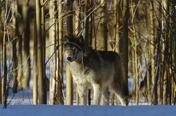 Wall Art - Photograph - Timber Wolf Camouflaged In  Birch Forest by Konrad Wothe