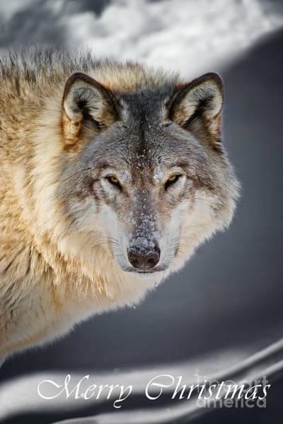 Photograph - Timber Wolf Christmas Card 21 by Wolves Only